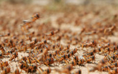 In India, locusts attack in the midst of corona pandemic- cyclone amphan