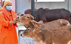 Yogi government is giving oximeter-thermal scanner to protect cows!