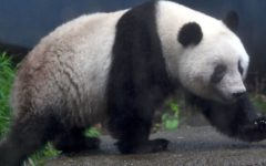 Panda's pregnancy in Ueno Zoo caused the share prices of restaurant chains to temporarily surge