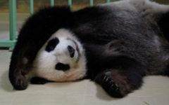 Huan Huan, a giant panda on loan to France, gave birth to twin cubs